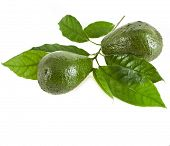picture of avocado tree  - Avocado fruits with leaves  tree - JPG