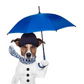 pic of freezing temperatures  - rain umbrella winter dog blue umbrella scarf - JPG