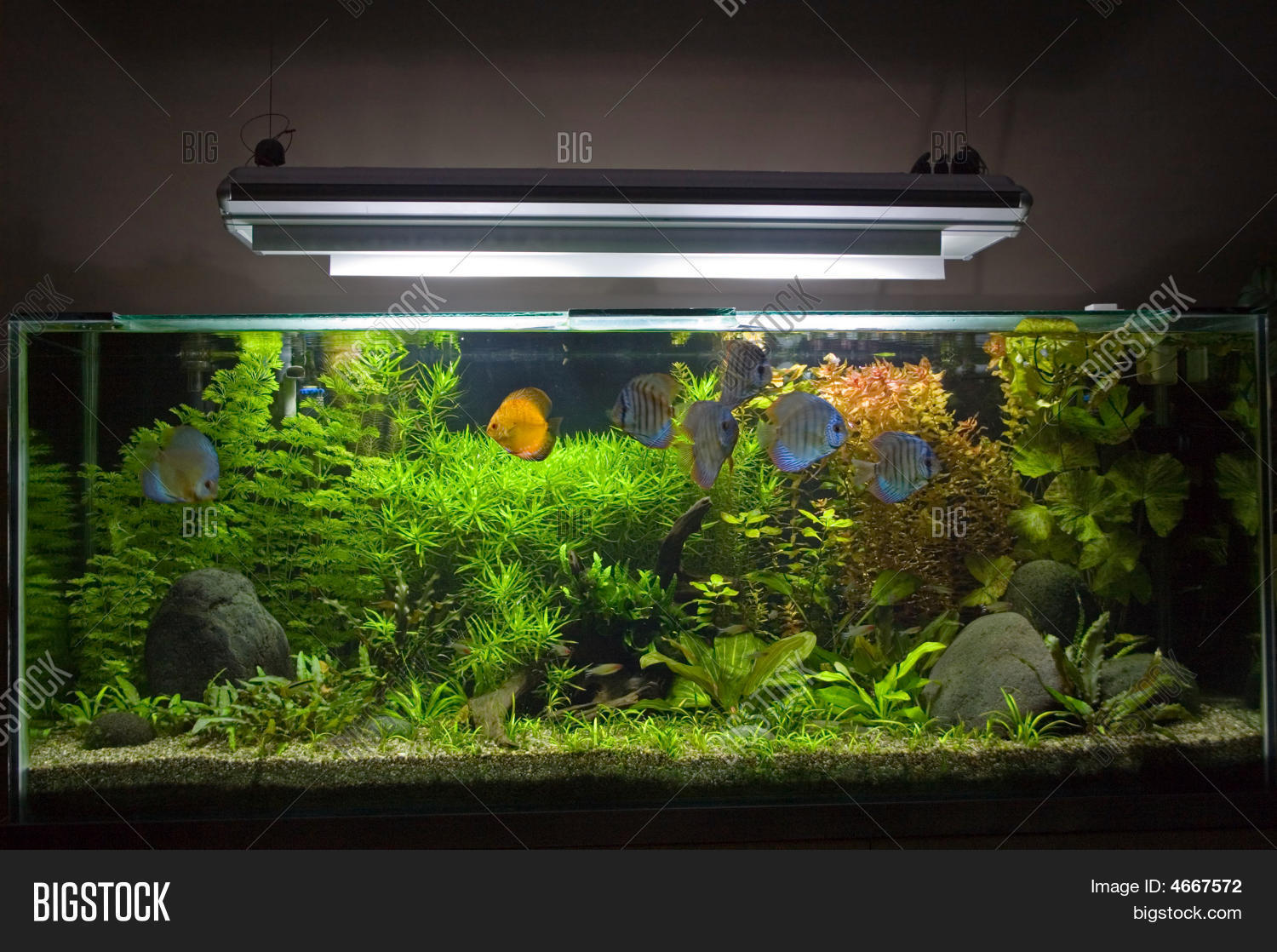 Planted tropical freshwater aquarium with discus fish for Planted tank fish