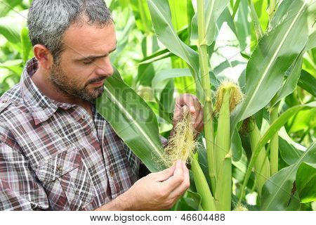 Farmer stood in corn field