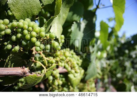 california grape vine