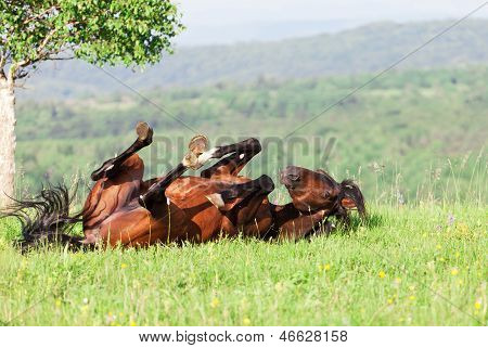bay horse lies on a green grass