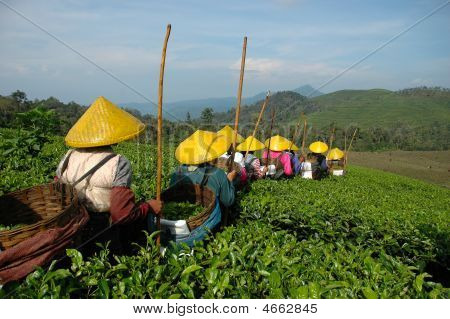 People Picking Up Tea