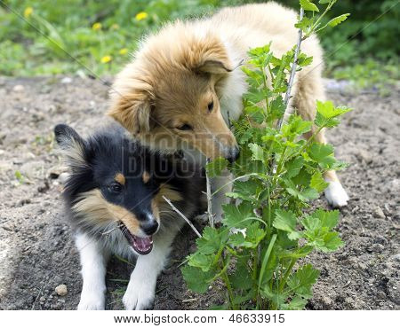 Shetland Sheepdog Outdoors