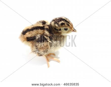 Baby pheasant isolated on white