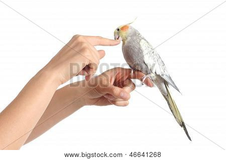 Woman Hand Holding A Cockatiel Bird Nibbling Her Finger