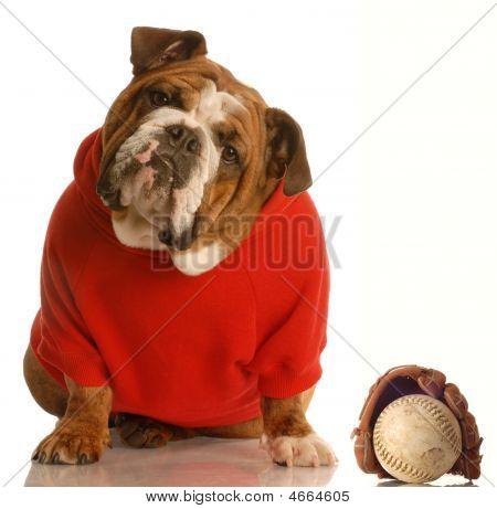 Bulldog In Red Sweater With Baseball