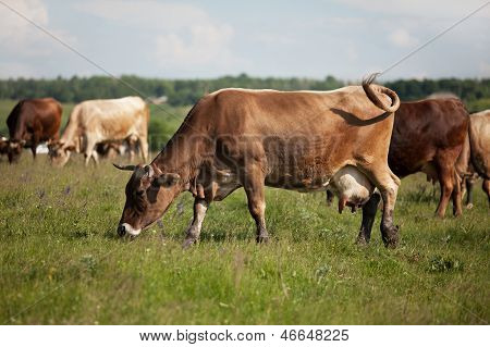 A Herd Of Cows Grazing On A Meadow