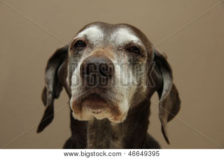 German Shorthaired Pointer, Female