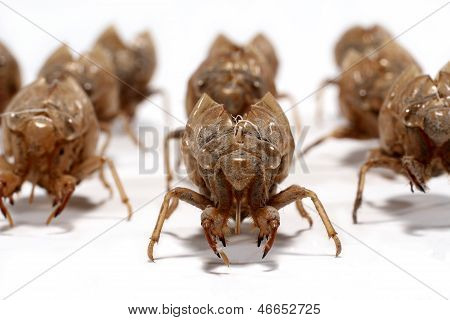Macro Of A Group Of Larval Cicada Shed Exoskeleton On White