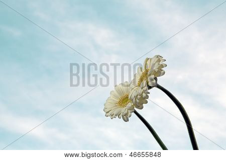 White Gerbera Flowers On Blue Sky Background