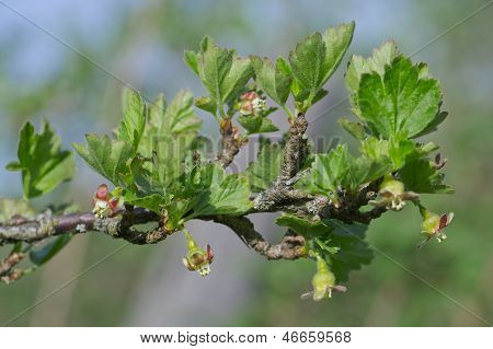 Dehiscing On Gooseberry Bush Bud