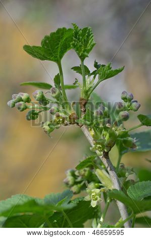 Dehiscing On Currant Bud