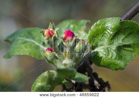 Dehiscing On Apple-tree Bud