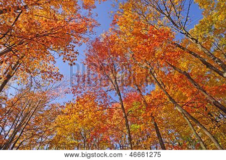 Colorful Canopy In The Fall