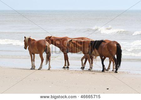 Wild Horses Of Corolla, North Carolina, Usa