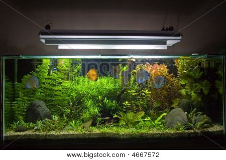Planted Tropical Freshwater Aquarium With Discus Fish.