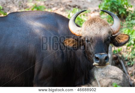 Bison In The Zoo Thailand