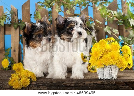 Two puppies and flowers dandelions, Beaver Yorkshire Terrier