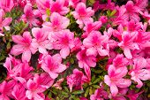 stock photo of azalea  - This is a photograph of a flower of azalea pink - JPG