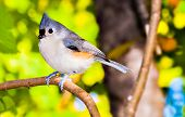 Tufted Titmouse Perched On A Small Branch.