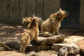 foto of foodchain  - Brown Bears looking for food standing on rock - JPG