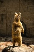 image of foodchain  - Brown Bear looking for food standing on rock - JPG