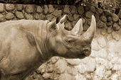 image of fat lip  - The black rhinoceros or hook - JPG