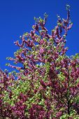 picture of judas tree  - Flowers on a judas tree by beautiful weather - JPG