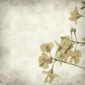 pic of cassia  - textured old paper background with yellow cassia flowers - JPG