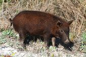 image of razorback  - Young Wild Boar in the Florida Everglades - JPG