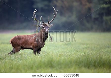 Red deer in the wild