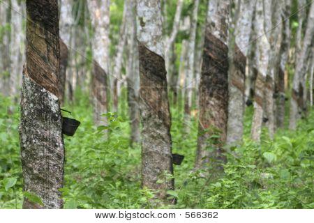Rubber Plantation, Malaysia
