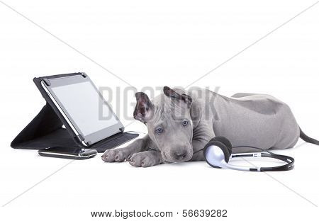 Thai Ridgeback Puppy With Tablet Computer And Headphones