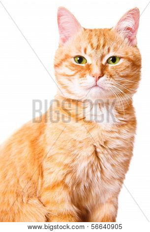 Ornage cat on a white background, isolated