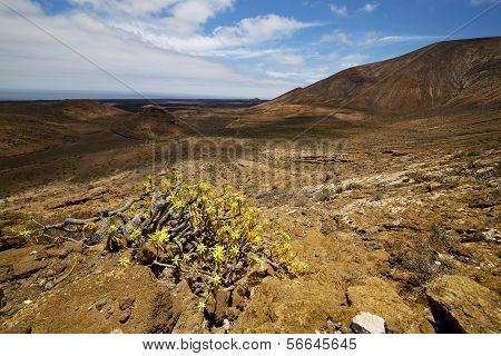 Vulcanic Timanfaya   Spain Plant Flower Bush