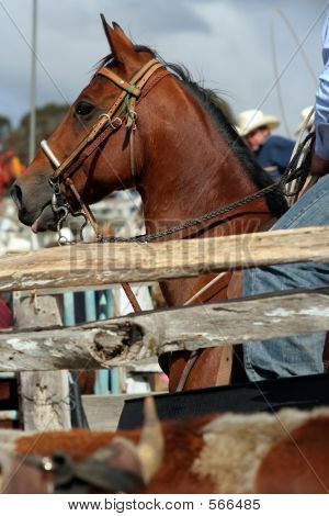 Rodeo Horse Close Up