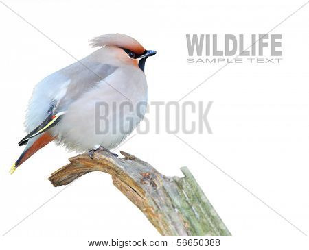 The Bohemian Waxwing (Bombycilla garrulus) with space for your text.