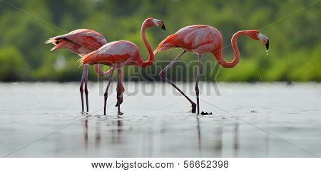 The  Flamingo Drinks Water