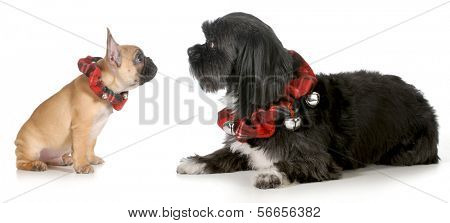 christmas dogs - french bulldog puppy looking at mixed breed friend both wearing christmas collars isolated on white background