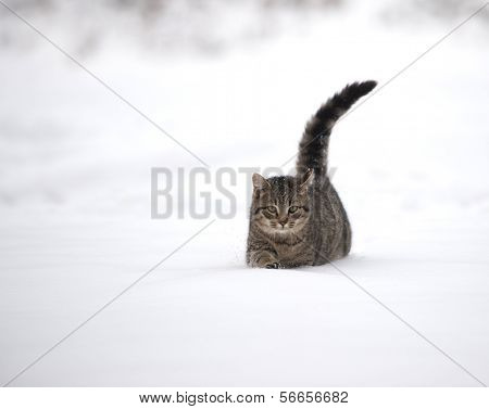 Tabby Kitten In The Snow