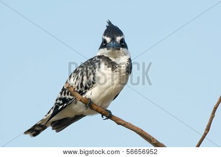 Pied Kingfisher (ceryle Rudis) Staring Directly At You