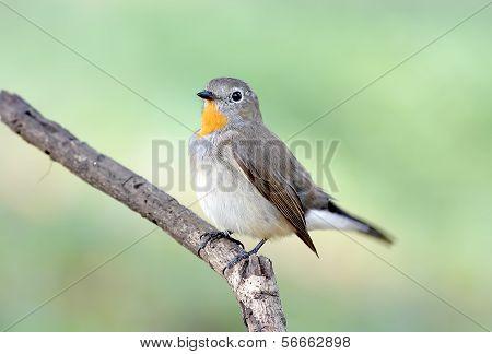 Red-breasted Flycatcher Taiga Flycatcher Ficedula Parva