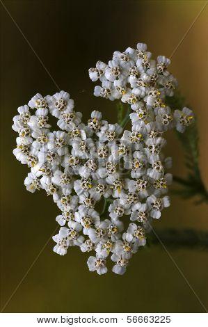 White Leguminose    Sambucus Nigra