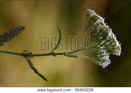 Yellow   Leguminose Caprifoliacee Viburnum Lontana