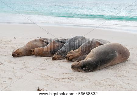 Group Of Galapagos Sea Lions Sleeping On A Beach