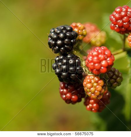 Blackberry On The Bush