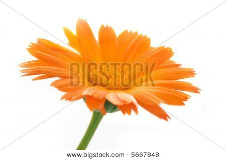 The Calendula Flower