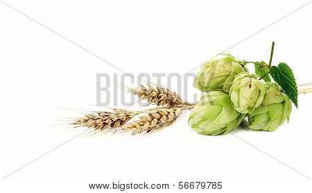 Close up of hop flowers and wheal ear.