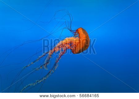 orange bell jellyfish in  aquarium